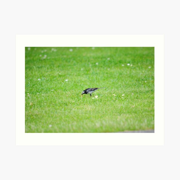 Pied Wagtail getting lunch Art Print