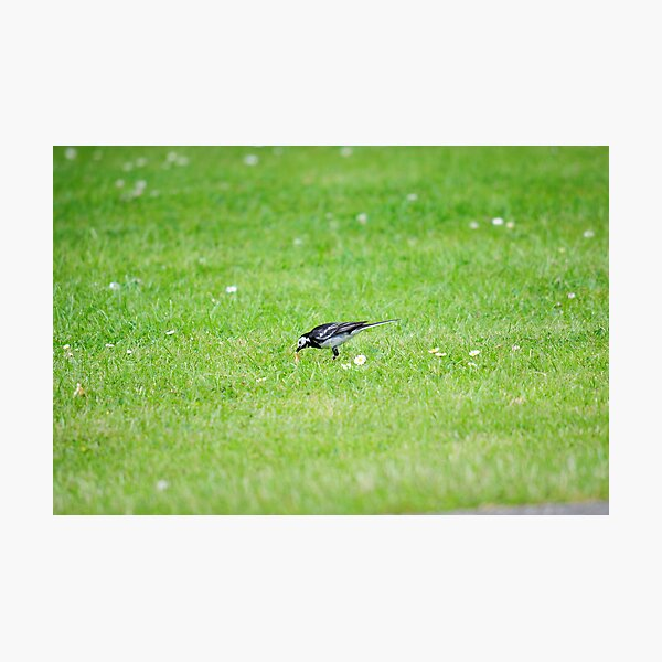 Pied Wagtail getting lunch Photographic Print