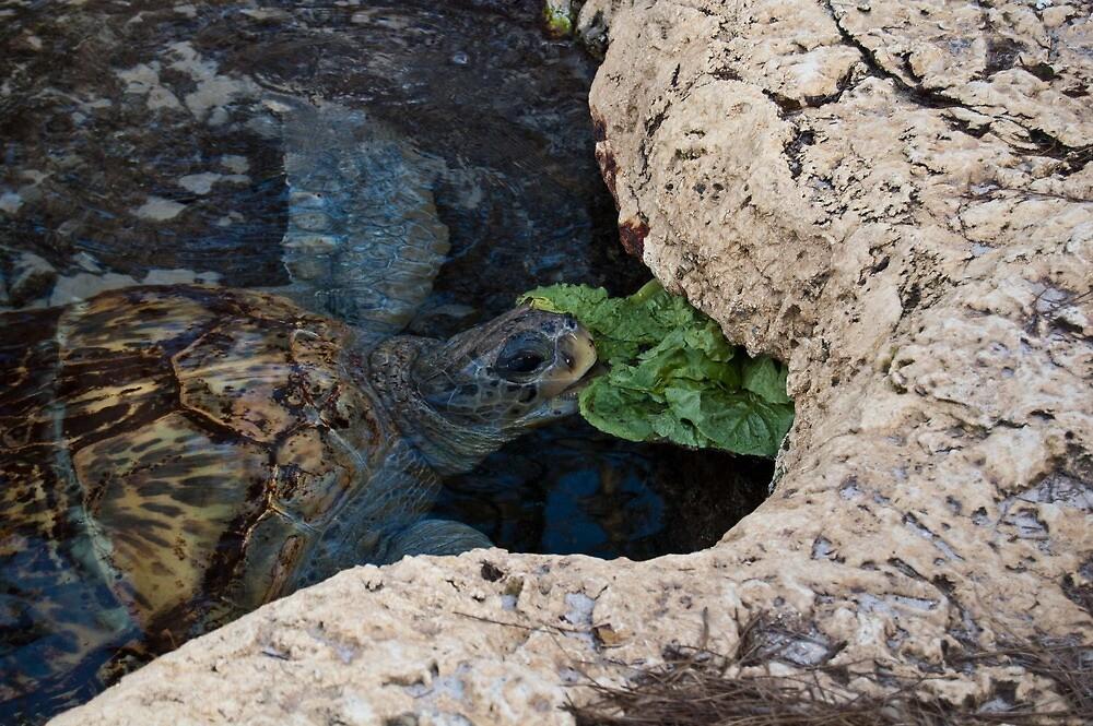 Sea Turtle Eating-Sea World Orlando by lissie27