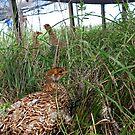 Attwater Prairie Chicken Release by Kasey Lilly