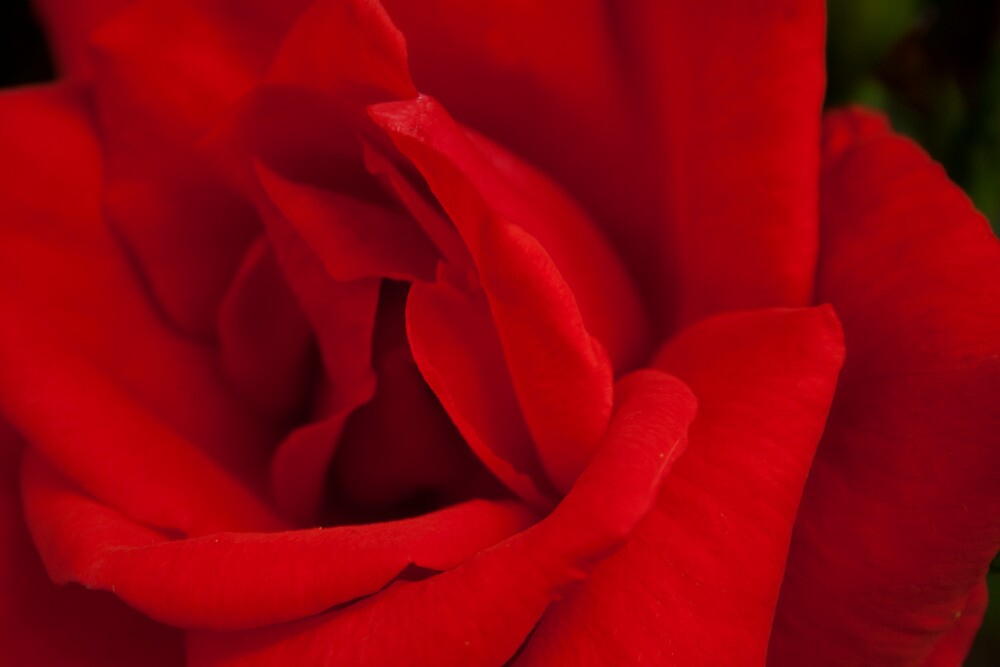 Red Rose by Ciaran Sidwell