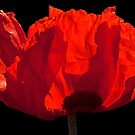 Sunlit Poppy by Martin Smart