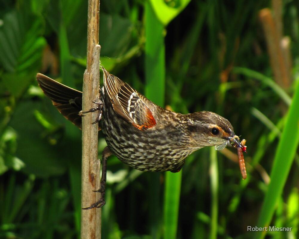 Family Provider (Red-winged Blackbird) by Robert Miesner