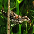 Family Provider (Red-winged Blackbird) by Robert Miesner