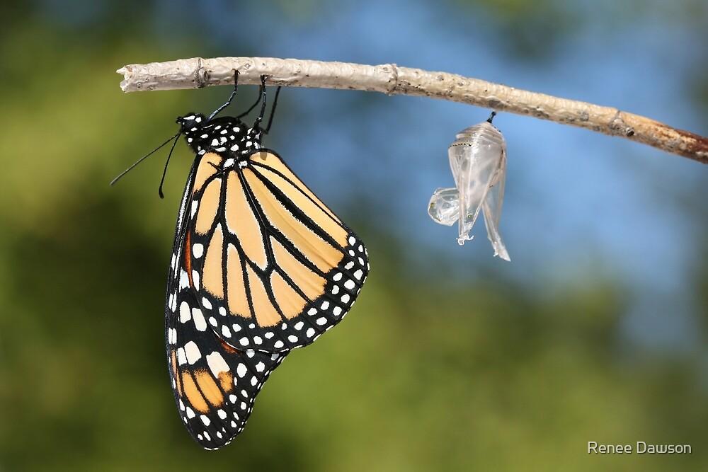 Monarch Butterfly & Chrysalis by Renee Dawson