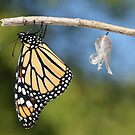 Monarch Butterfly & Chrysalis by Renee Dawson