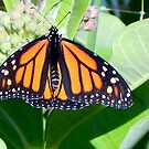 My Little Monarch ©  by Dawn Becker