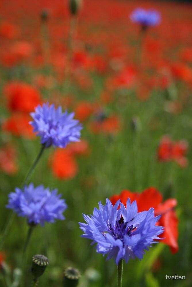 Cornflowers by tveitan