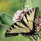 Eastern Tiger Swallowtail by Renee Dawson