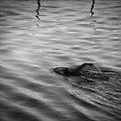 Malabar Pool Swimmer by Crispin  Gardner IPA