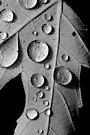 Maple Drops by Renee Dawson
