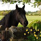 A curious Linnel Fell mare by Fleur Hallam