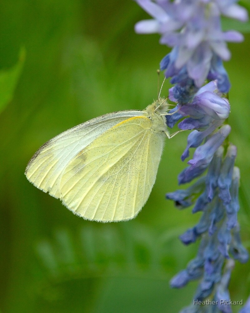 Cabbage White Butterfly by Heather Pickard