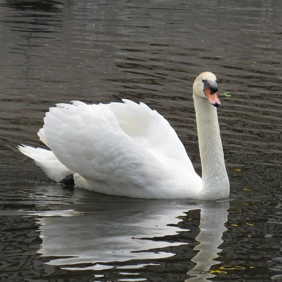 Swan in Water by LeonaPaints