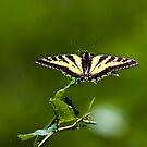 Butterfly Splendour by David Friederich