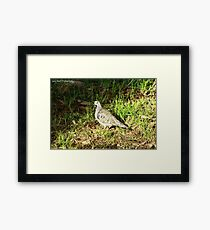 'Brush Bronzewing' Framed Print