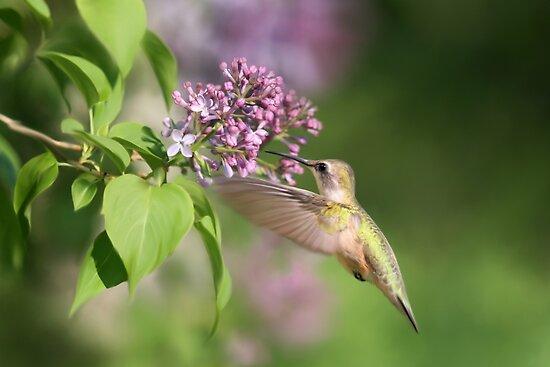 Lilac Hummingbird by Renee Dawson