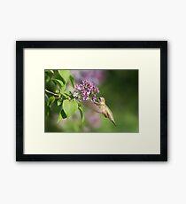 Lilac Hummingbird Framed Print