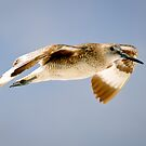 Willet in Flight by thatche2