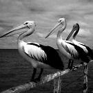 Pelicans @ Semaphore by Paula McManus