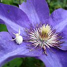 White Spider on Blue Clematis by Ann Baker