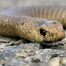 Brown Snake (Demansia textilis) by Paula McManus