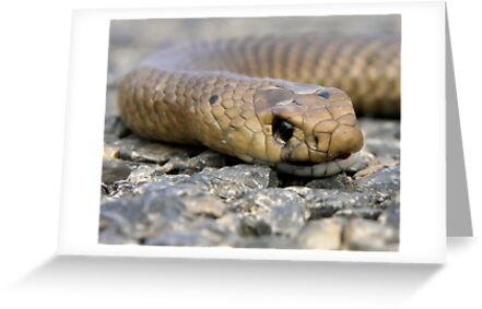 Brown Snake (Demansia textilis) by Paula McManus