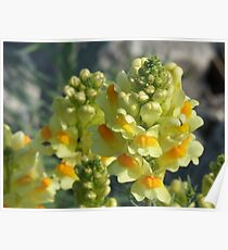 Butter-and-Eggs- Linaria vulagris Poster