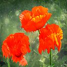 Melting Poppies by John Hare