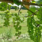 Early Grapes by Diane Trummer Sullivan