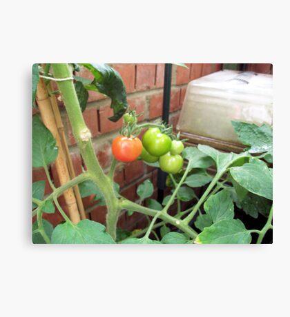 The first ripe Tomato Canvas Print