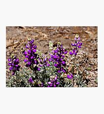 """Lupine in The Sun"" Photographic Print"