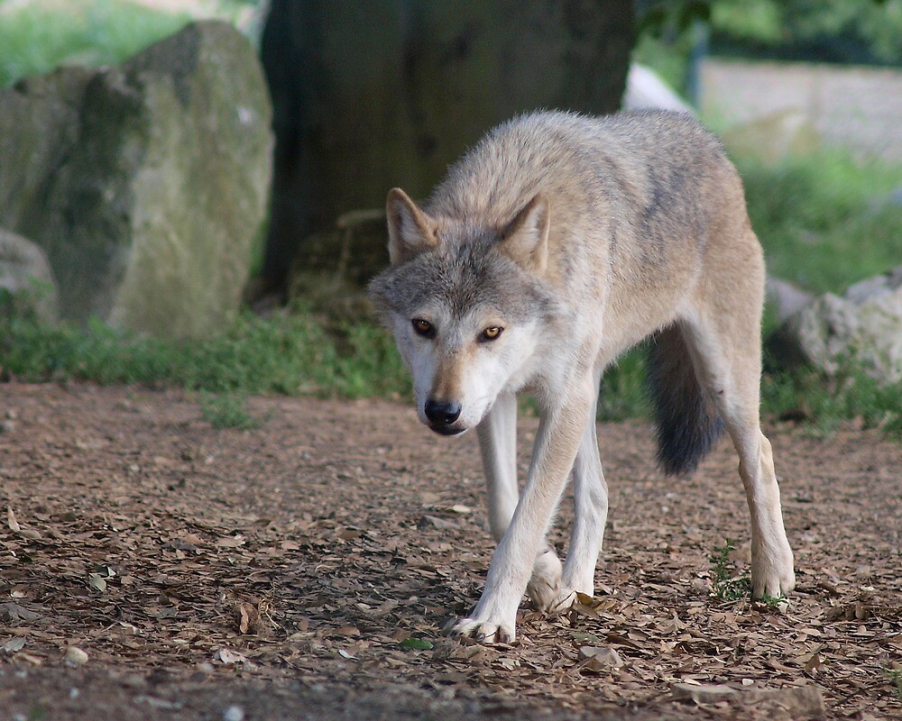 Mean Looking Timber Wolf by CleenCutImages