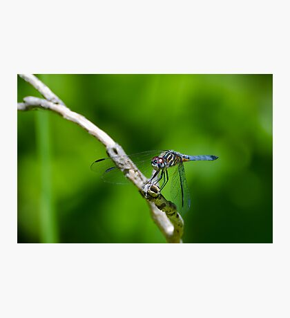 Male Blue Dasher Dragonfly Photographic Print