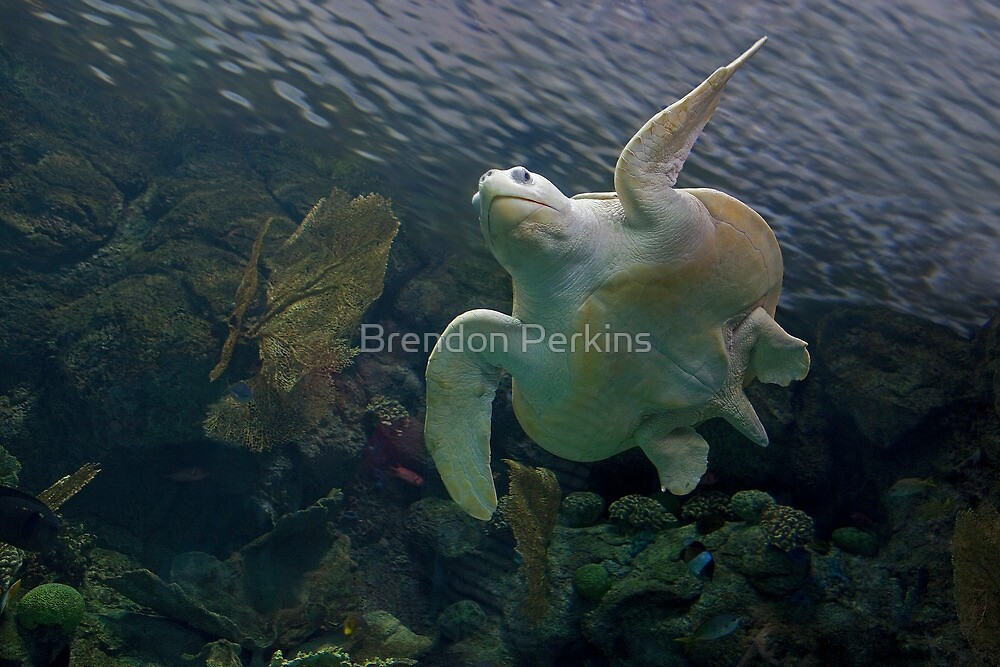 Olive Ridley Sea Turtle by Brendon Perkins