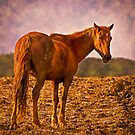 Young Stallion by Sue Ratcliffe