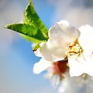 Cherry flower by andreaminerdo