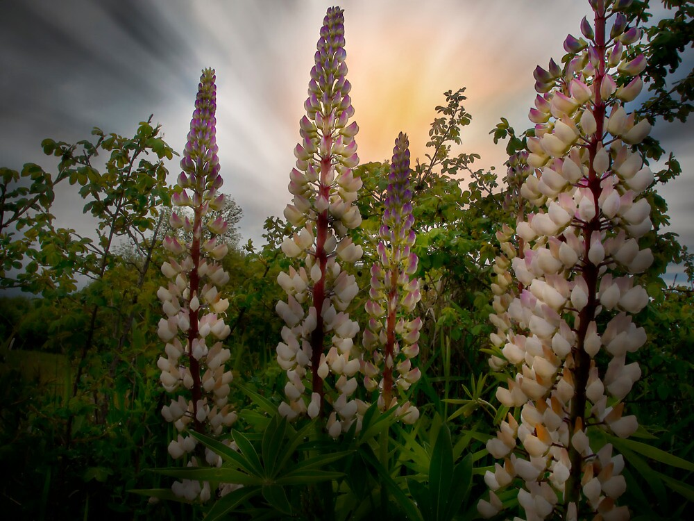 Wild Lupin by Charles & Patricia   Harkins ~ Picture Oregon