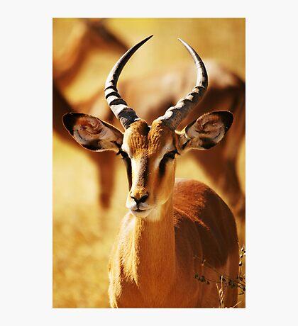 Springbok Photographic Print