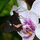 Butterfly enjoying orchids by Paula Betz