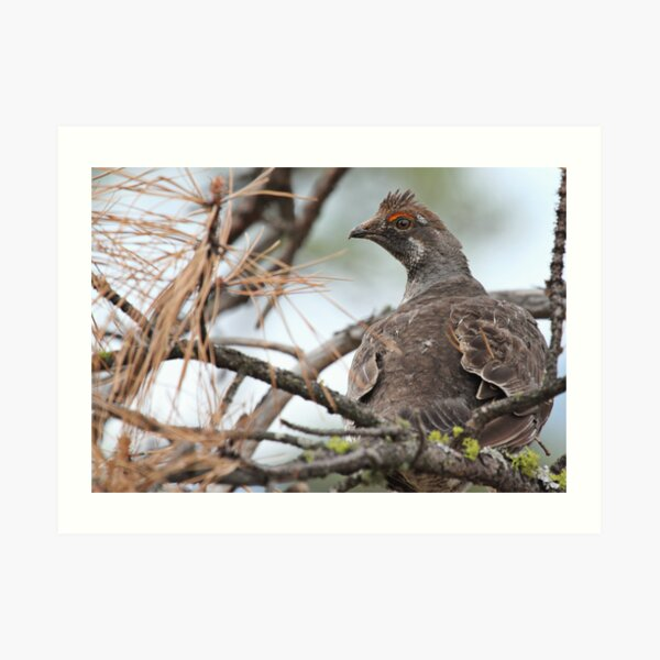 Grouse in a Pine Tree Art Print
