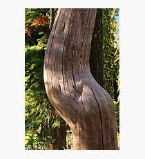 Pregnant Tree Photographic Print