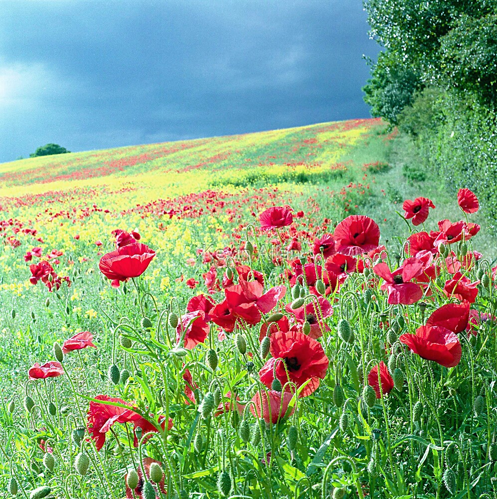 Poppies on a hillside by Kevin Allan