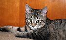 Meet Tasha.....My New Kitten by jodi payne