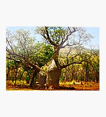 *Boab Trees in the Kimberly Region Outback Australia Photographic Print