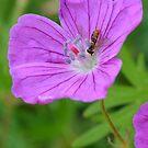 Wild Geranium with little bug by Paula Betz