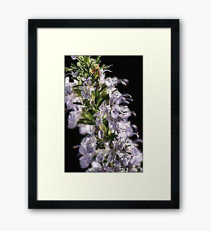 Lavender Dreams Framed Print