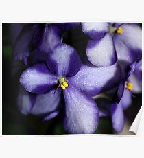 Violet & White Bi-colour African Violets  Poster