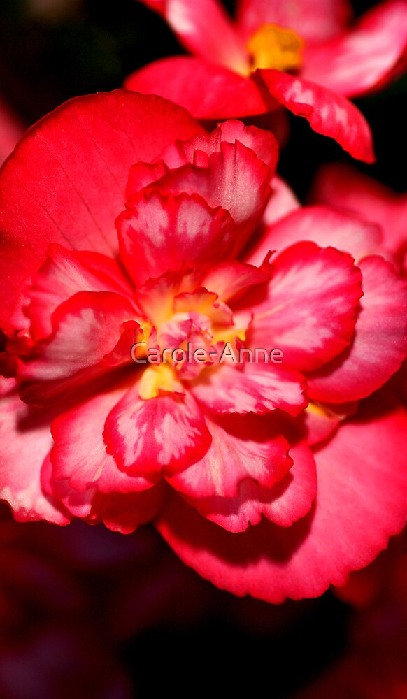 Red & White Variagated Begonia Flower  by Carole-Anne