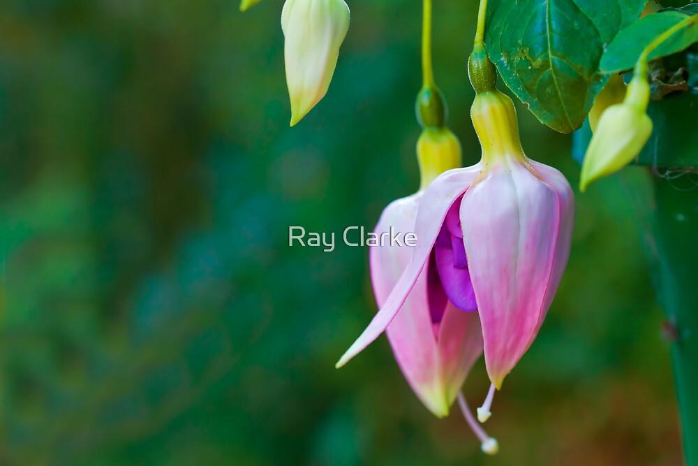 Fuchsia Buds by Ray Clarke